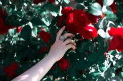 Girl`s hand touching red rose royalty free stock photos