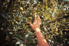 The hand of a young woman as she is picking apples Stock Photos