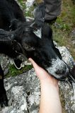 Hand of young woman holding black goat head. On mountain image of hand of young woman holding black goat head close up Stock Image