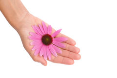 Hand of young woman holding Echinacea flower Royalty Free Stock Images