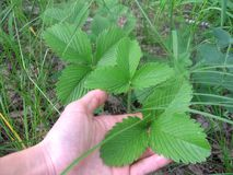 Hand zeigt große grüne Blätter der Walderdbeere stockfotografie