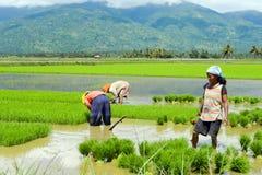 Handarbeit der Frauen auf den philippinischen Reisgebieten Lizenzfreies Stockfoto