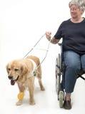 Handbokhund och rullstol som isoleras på vit Arkivfoto