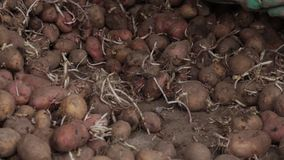 Handbuch, das Kartoffeln mit Sprösslingen pflanzend sortiert stock video footage