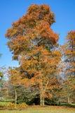 HANDCROSS, SUSSEX/UK - PAŹDZIERNIK 27: Bukowi drzewa w jesieni przy Hig Fotografia Stock