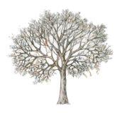 Handdrawing da árvore do inverno isolado no branco Fotografia de Stock Royalty Free