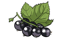 Handdrawn black currant Stock Photos