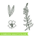 Handdrawn Illustration - Health and Nature Set. Chamerion angustifolium - Siberian herbs. Handdrawn Illustration - Health and Nature Set Royalty Free Stock Photo