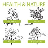 Handdrawn Set - Health and Nature. Collection of. Medicine Herbs. Natural Supplements. Turmeric, Maca, Arjuna, Echinacea Royalty Free Stock Photo