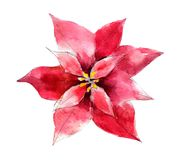 Handdrawn vintage Poinsettia flower, watercolor illustration isolated on white. royalty free illustration