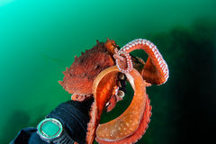 Handdruk met octopus Royalty-vrije Stock Afbeelding