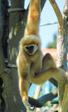 Handed gibbon Royalty Free Stock Photography