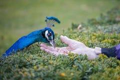 Handeinziehender männlicher blauer Peafowl stockfotografie
