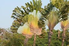 Handelsresandes palmträdhimmel Arkivbilder