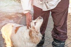 Handen av ägaren som slår och smeker en stor vit hund med bruna fläckar och stora bruna ögon Horisontalramen Arkivbilder