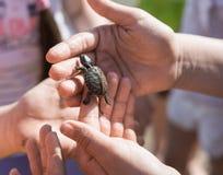Handen av barn som rymmer gulligt nyfött, behandla som ett barn sköldpaddan Arkivbilder