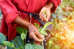 Handen av en kvinna som samlar teblad Arkivbild