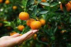 Handen av kvinnan är att rymma av mandarinen från ett träd royaltyfri fotografi