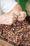 Handen die cacaobonen voor verwerking voorbereiden aan chocolade Stock Fotografie