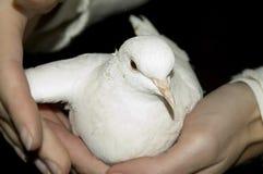 Handen die duif houden royalty-vrije stock afbeeldingen