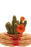 Handen die een cactus houden Royalty-vrije Stock Afbeeldingen