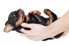 Handen die een uiterst klein zwart puppy houden royalty-vrije stock afbeeldingen