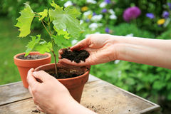 Handen die een zaailing van de esdoornboom in een bloempot planten royalty-vrije stock foto's
