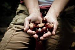 Handen die handvol verse Kastanjes houden stock afbeeldingen