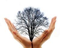 handen die naakte boom op witte achtergrond houden Stock Afbeelding