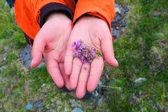 Handen die thyme zacht houden Het wilde kruiden plukken royalty-vrije stock fotografie