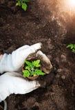 Handen die tomatenzaailing zetten Stock Foto's