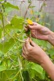 Handen die van tuinman met komkommerinstallatie werken in de serre stock afbeeldingen