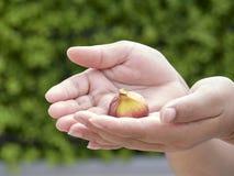 Handen die vers fig. houden royalty-vrije stock afbeeldingen