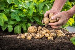 Handen die verse aardappels van grond oogsten Stock Foto's