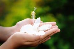 Handen die witte hibiscus houden Stock Foto's