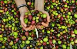 Handen en olijven 1 Stock Afbeelding