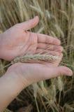 Handen en tarwe stock afbeelding