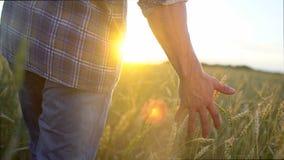 Handen för man` s av bondemannen i att gå för vetefält och rörande vete gå i ax på solnedgången Manmannen räcker bondespring igen stock video