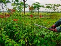Handen het snoeien in orde makende groene struiken en rode bloemen snijden en gras die met het tuinieren schaar stock foto's