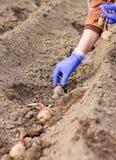 Handen i handske planterar potatisen in i jordningen Royaltyfri Bild