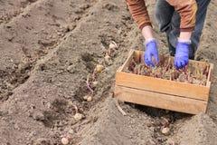Handen i handske planterar potatisen in i jordningen Arkivbilder