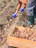 Handen i handske planterar potatisen in i jordningen Fotografering för Bildbyråer