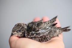 Handen lyftte barn Swifts royaltyfri foto