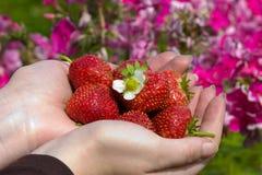 Handen met aardbeien royalty-vrije stock afbeeldingen