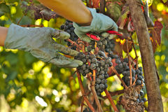 Handen met Christelijke armband het plukken druiven Royalty-vrije Stock Foto's