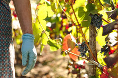 Handen met Christelijke armband het plukken druiven Stock Foto