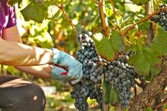Handen met Christelijke armband het plukken druiven Stock Fotografie