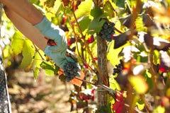 Handen met Christelijke armband het plukken druiven Royalty-vrije Stock Fotografie