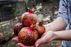 Handen met granaatappel Stock Afbeeldingen