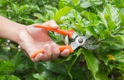 Handen met pruner in de tuin Stock Foto's